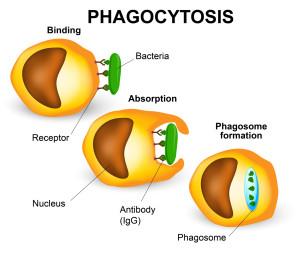 Qu'est-ce que la phagocytose ?