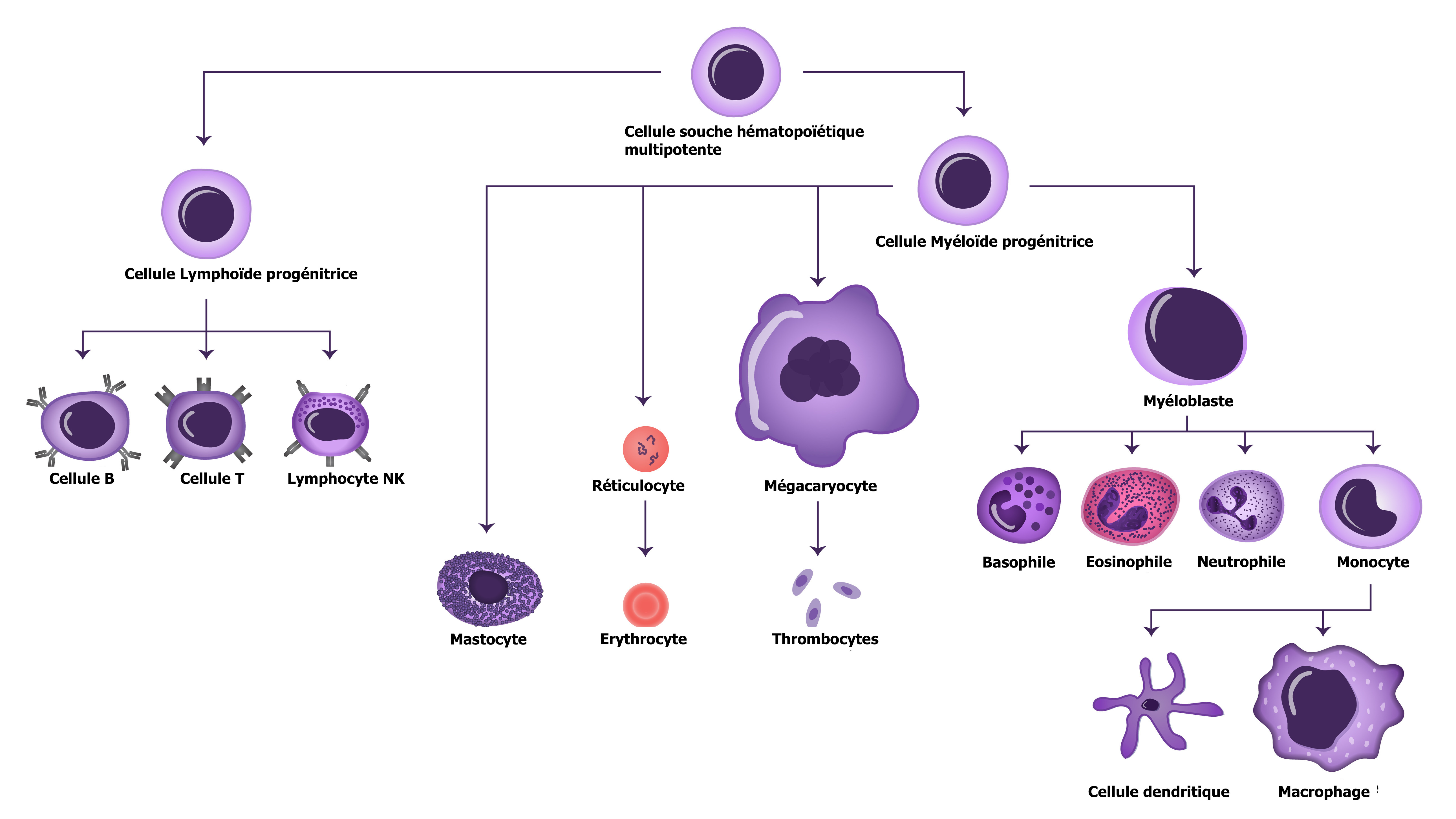 Vue générale des cellules du système immunitaire